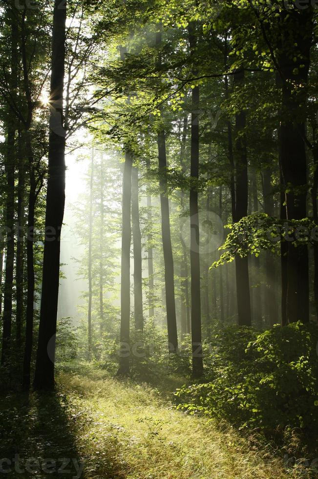 Misty forest at dawn photo