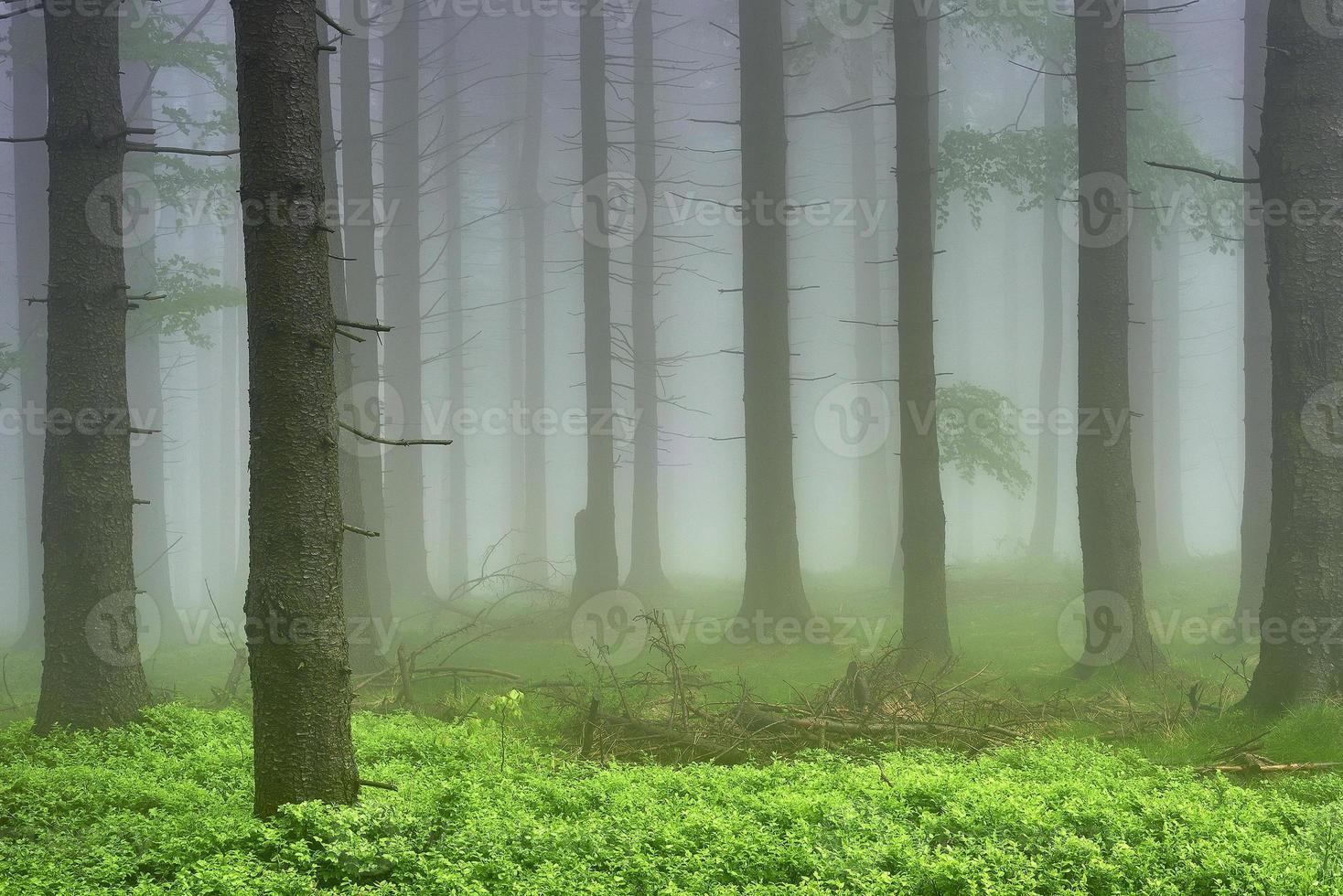 bosque de abetos foto
