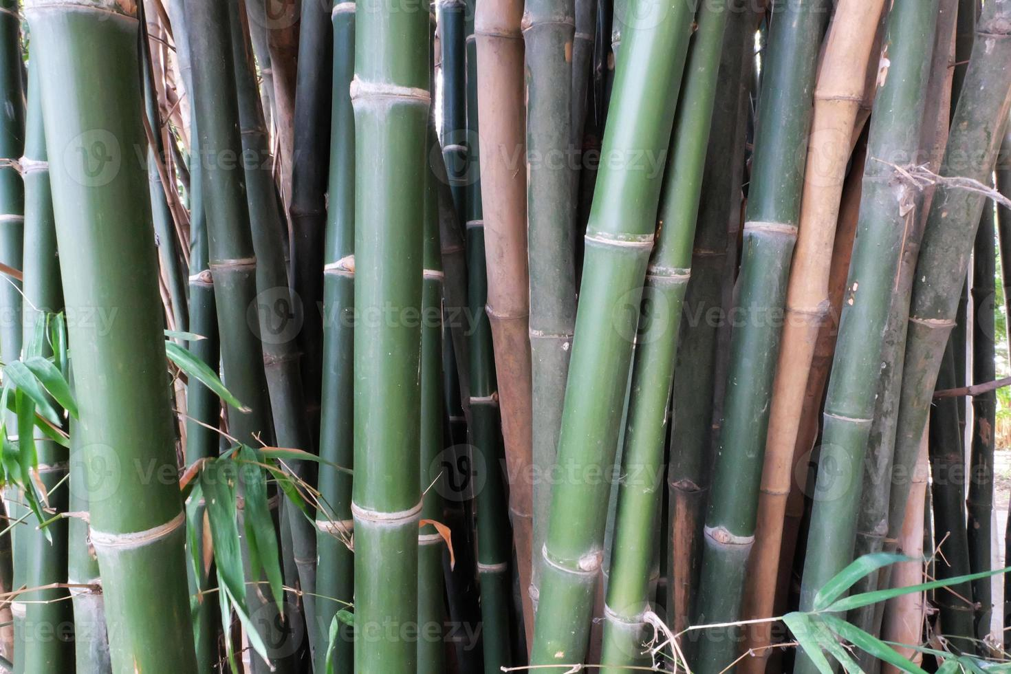 Close Up Green Bamboo Forest photo