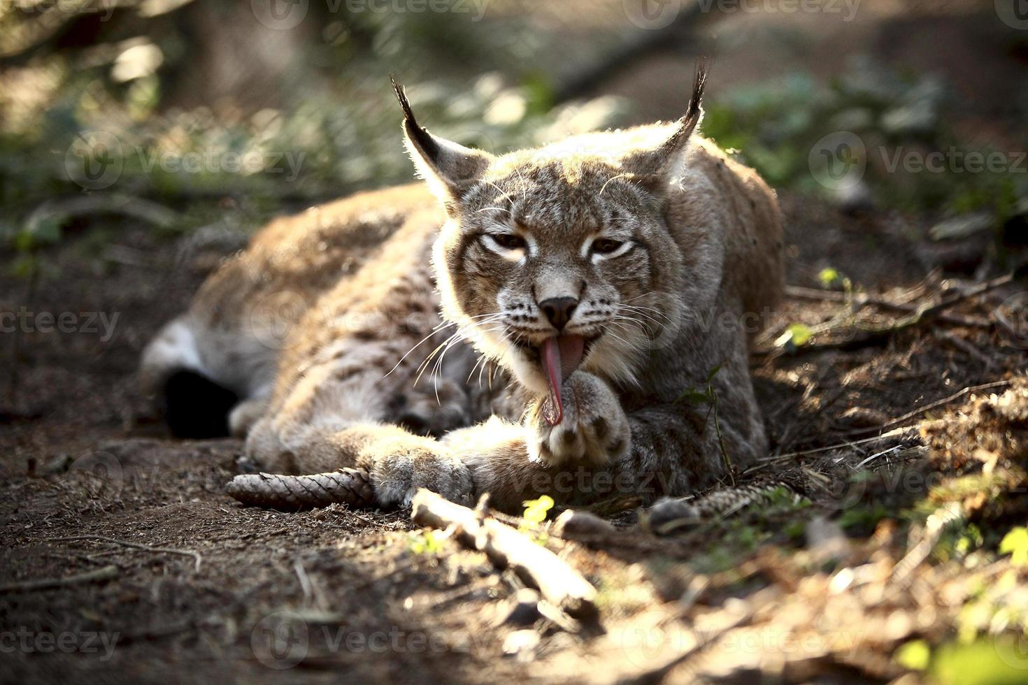 Lynx in the forest photo