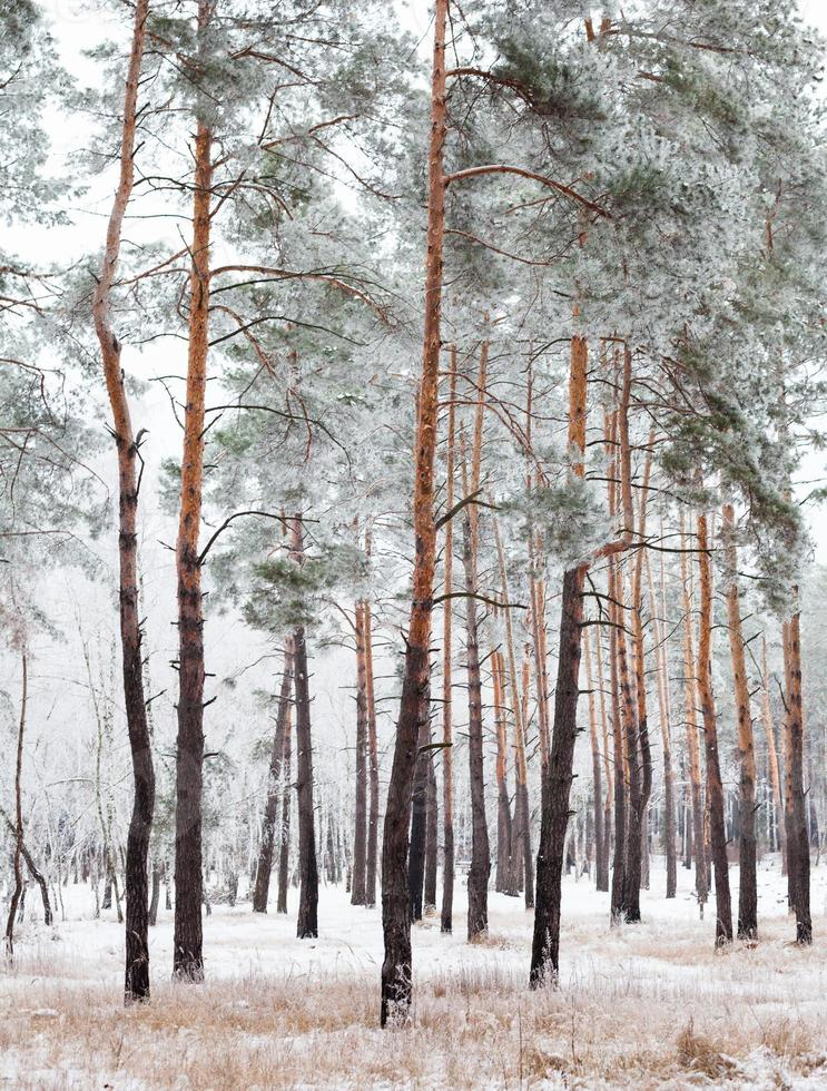 Pine forest covered with hoarfrost photo
