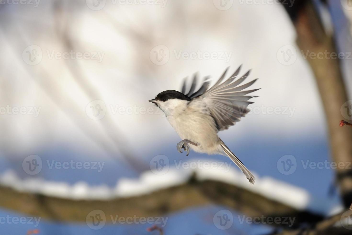 Tit de sauce volador en bosque de invierno foto