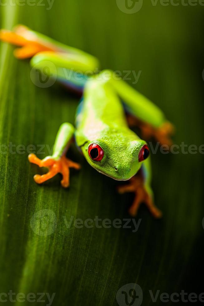 Exotic frog in natural rain forest photo