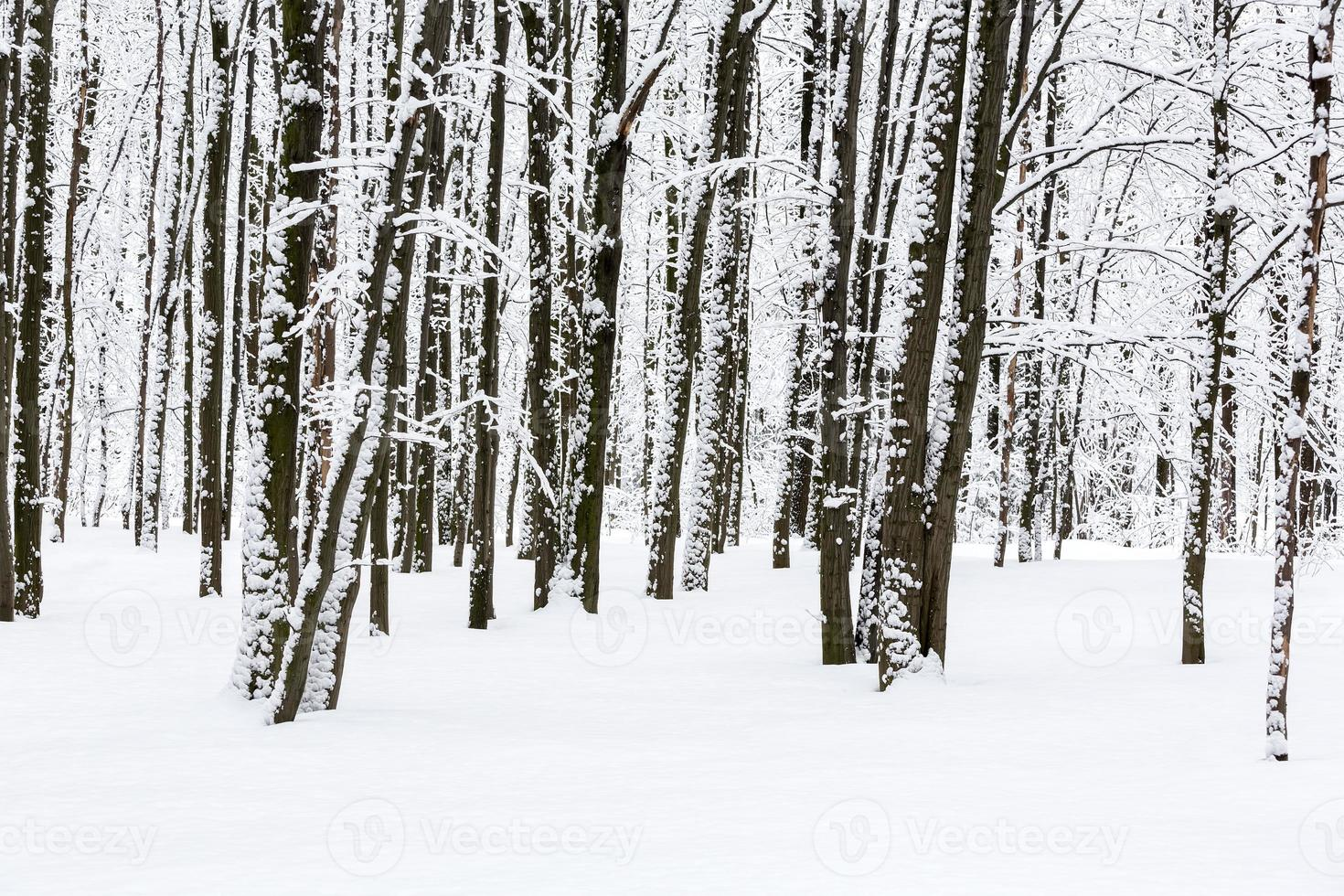 Beech trees in snowy forest photo