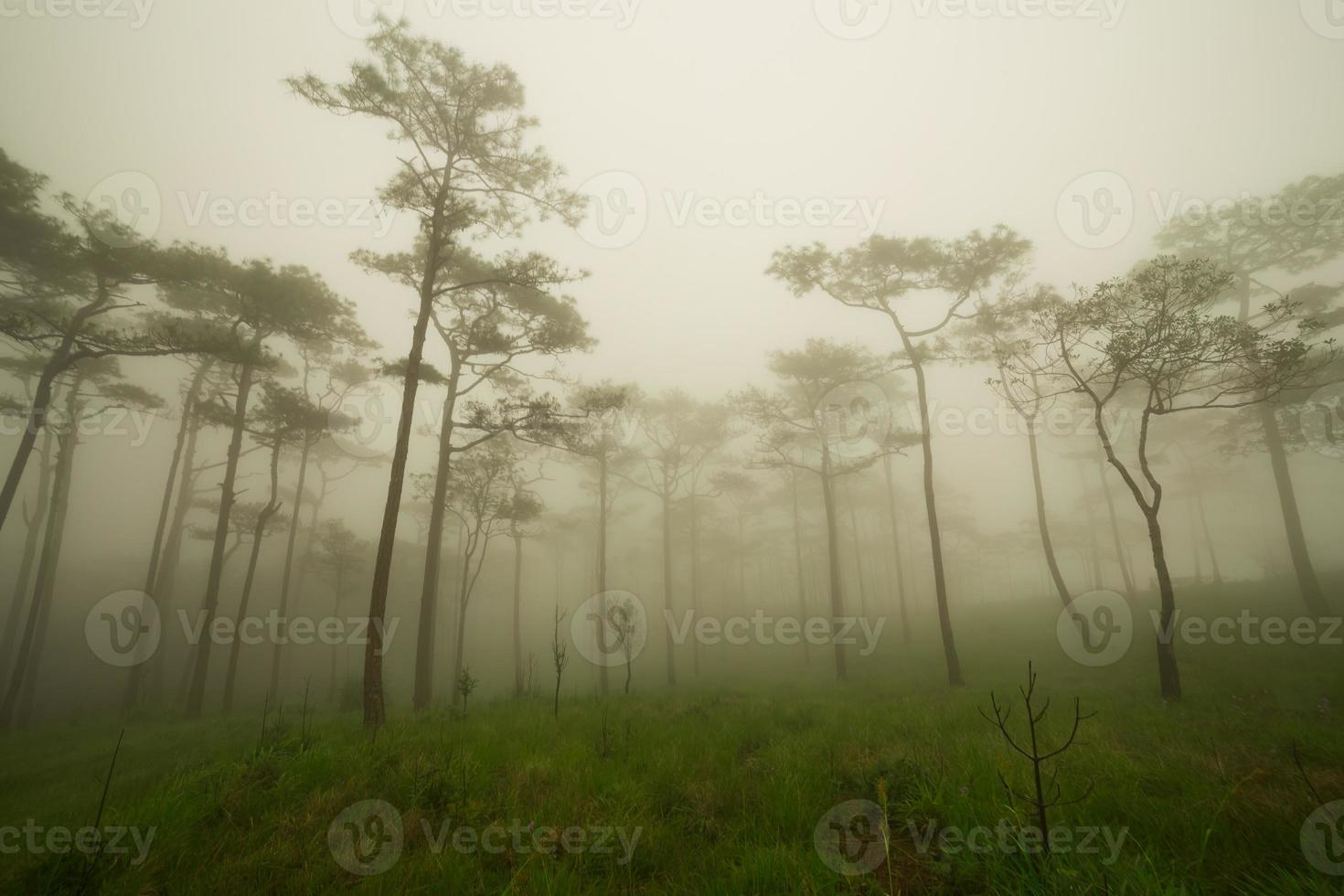 Pine forest with mist and wildflowers field photo