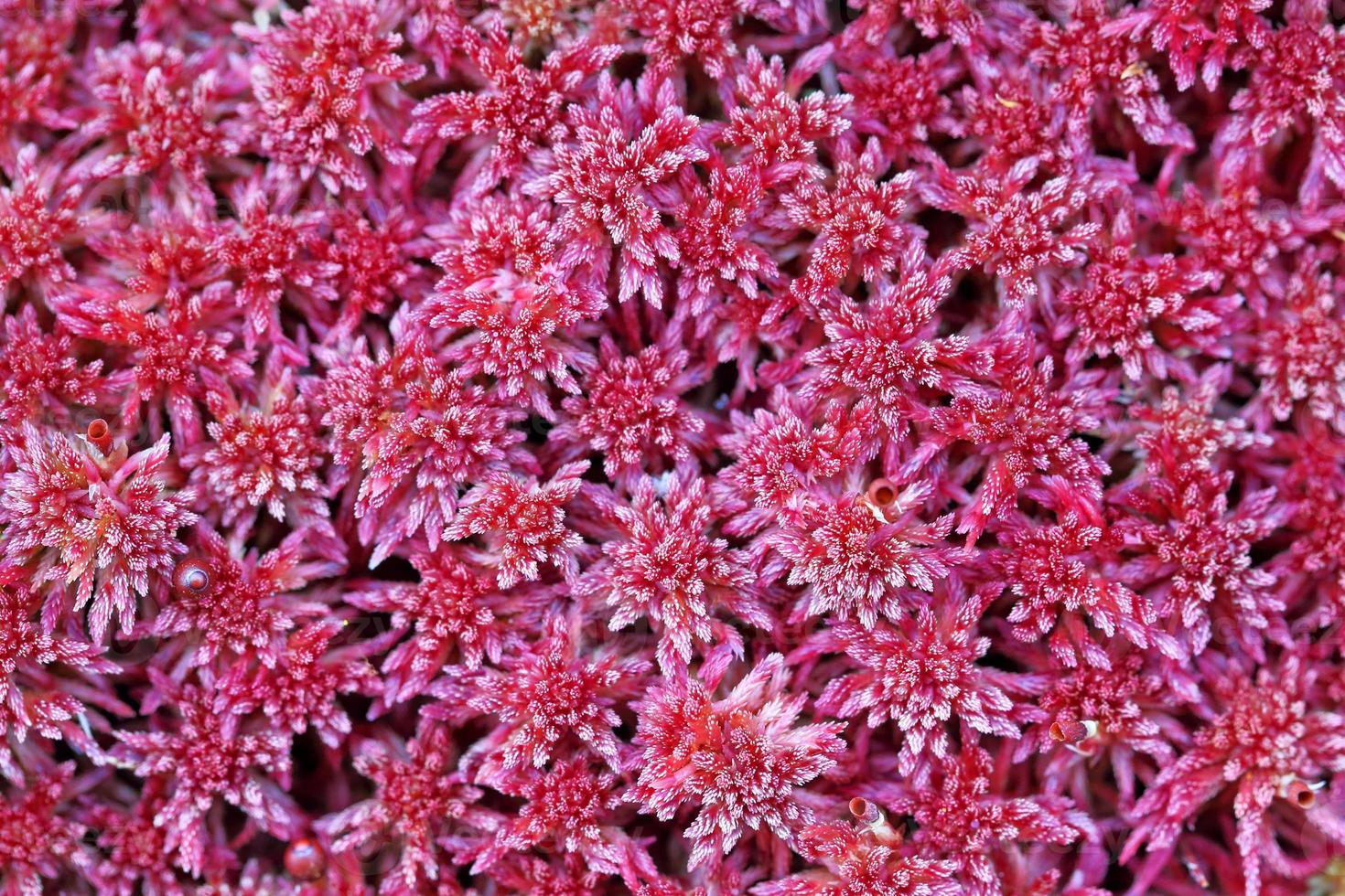 Red lichen photo