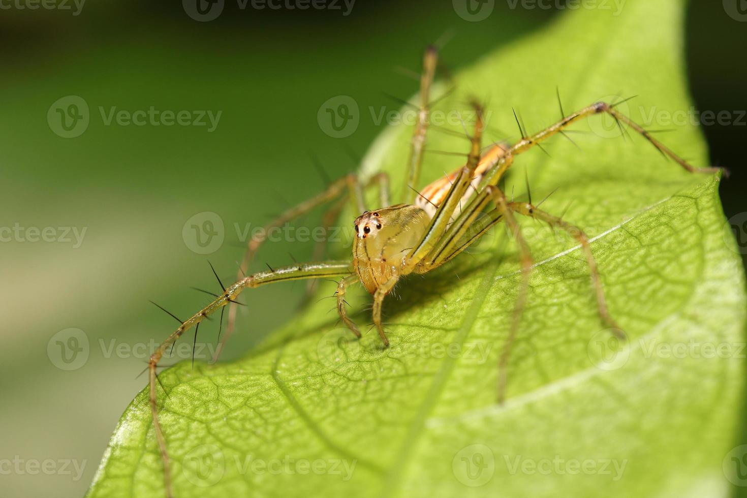 araña saltando en el bosque lluvioso foto