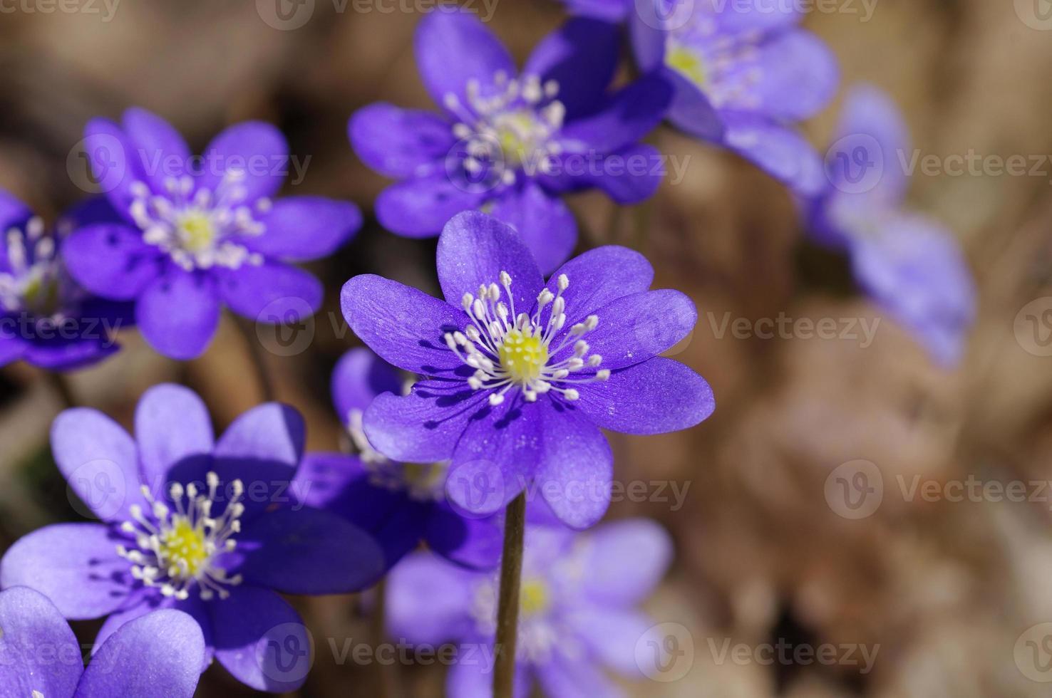 Primera primavera flores azules, violetas en el bosque. foto