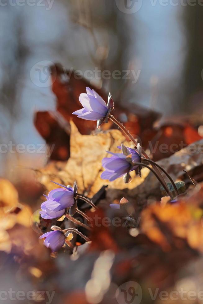 Flor del bosque violeta Hepatica nobilis foto