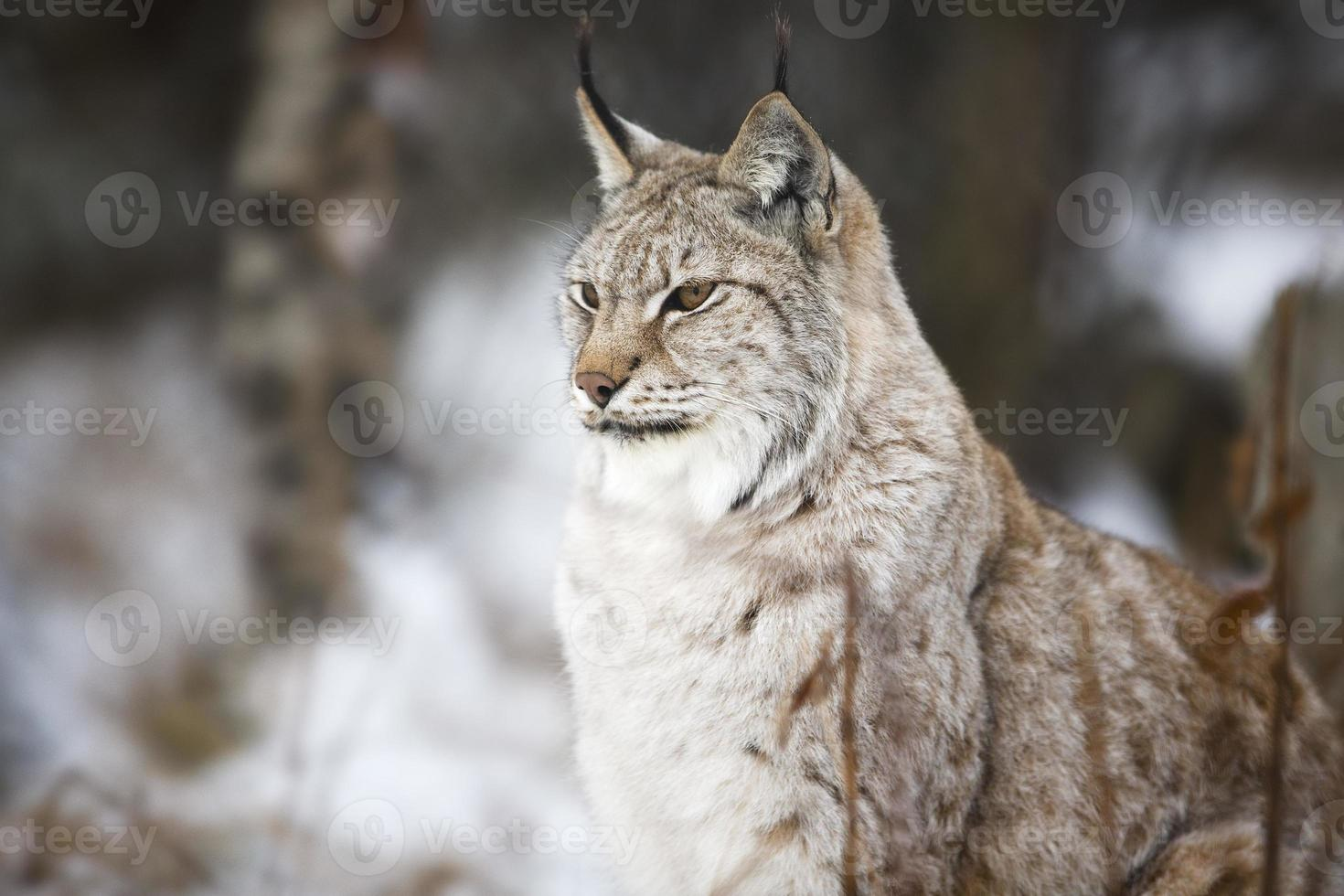 Lynx sitting in the winter forest photo