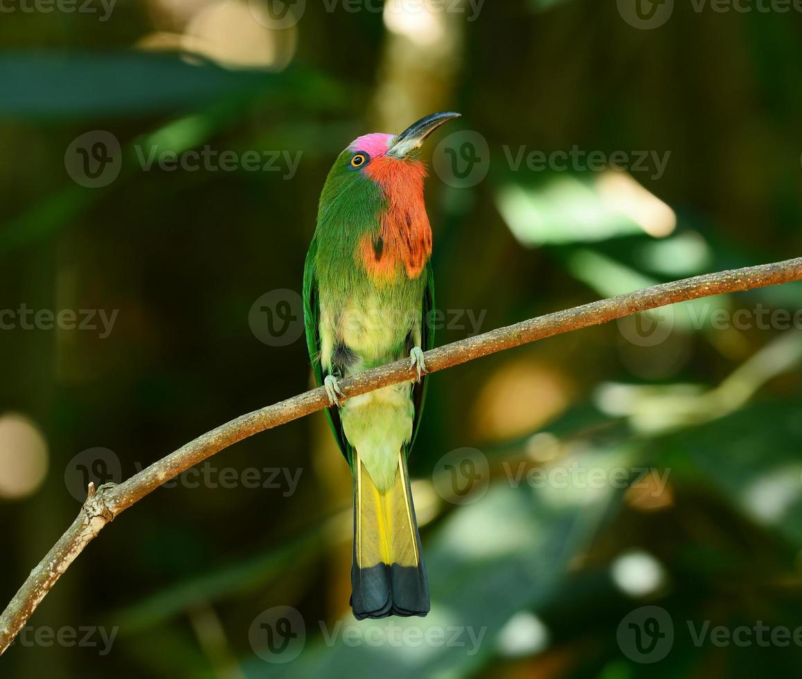 Red-bearded Bee-eater on the branch with food photo