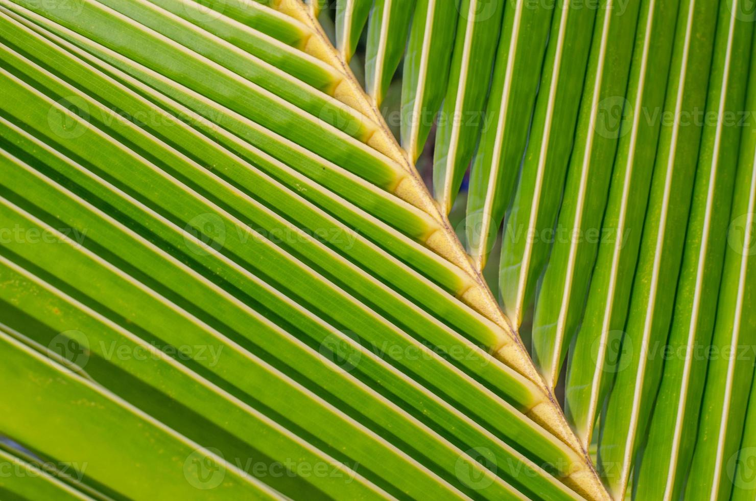 coconut leaf texture photo
