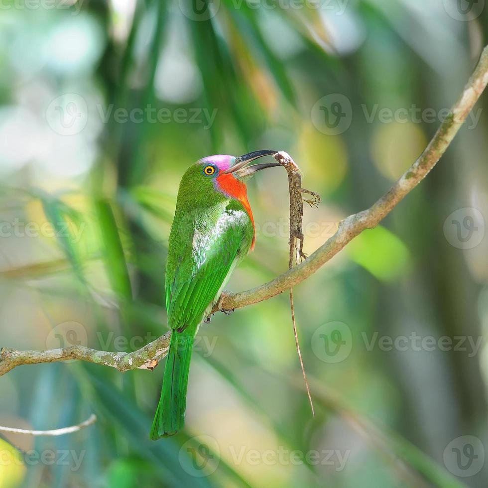 Red-bearded Bee-eater on the branch with food in mouth photo