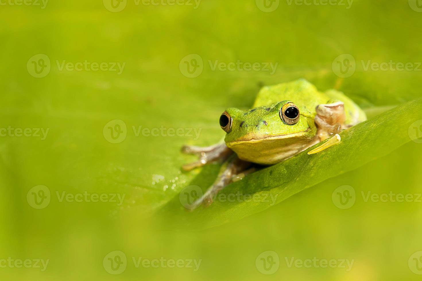 tree frogs are courting in the forest,Taiwan photo