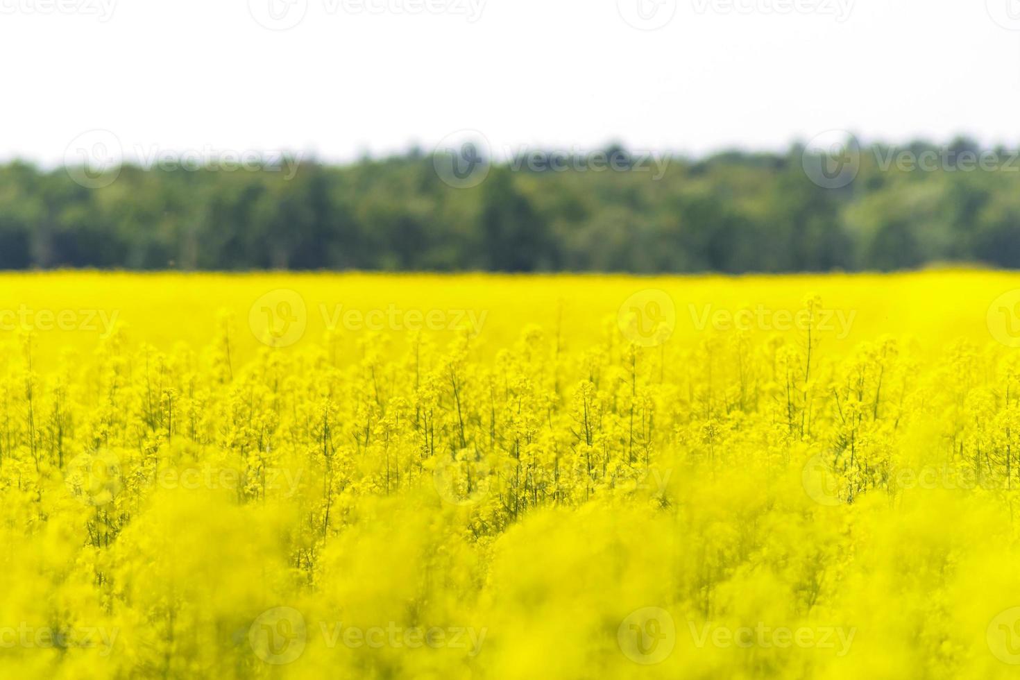 campo de colza con bosque y cielo foto