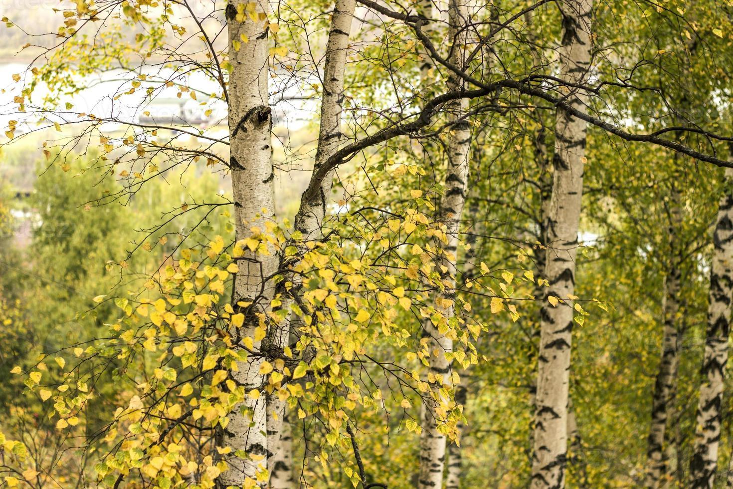 bosque de abedules de otoño foto