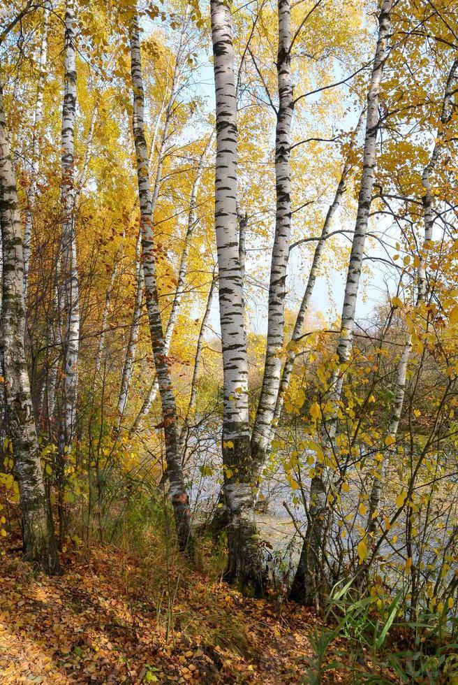 Bosque de abedules en la orilla del lago del bosque foto