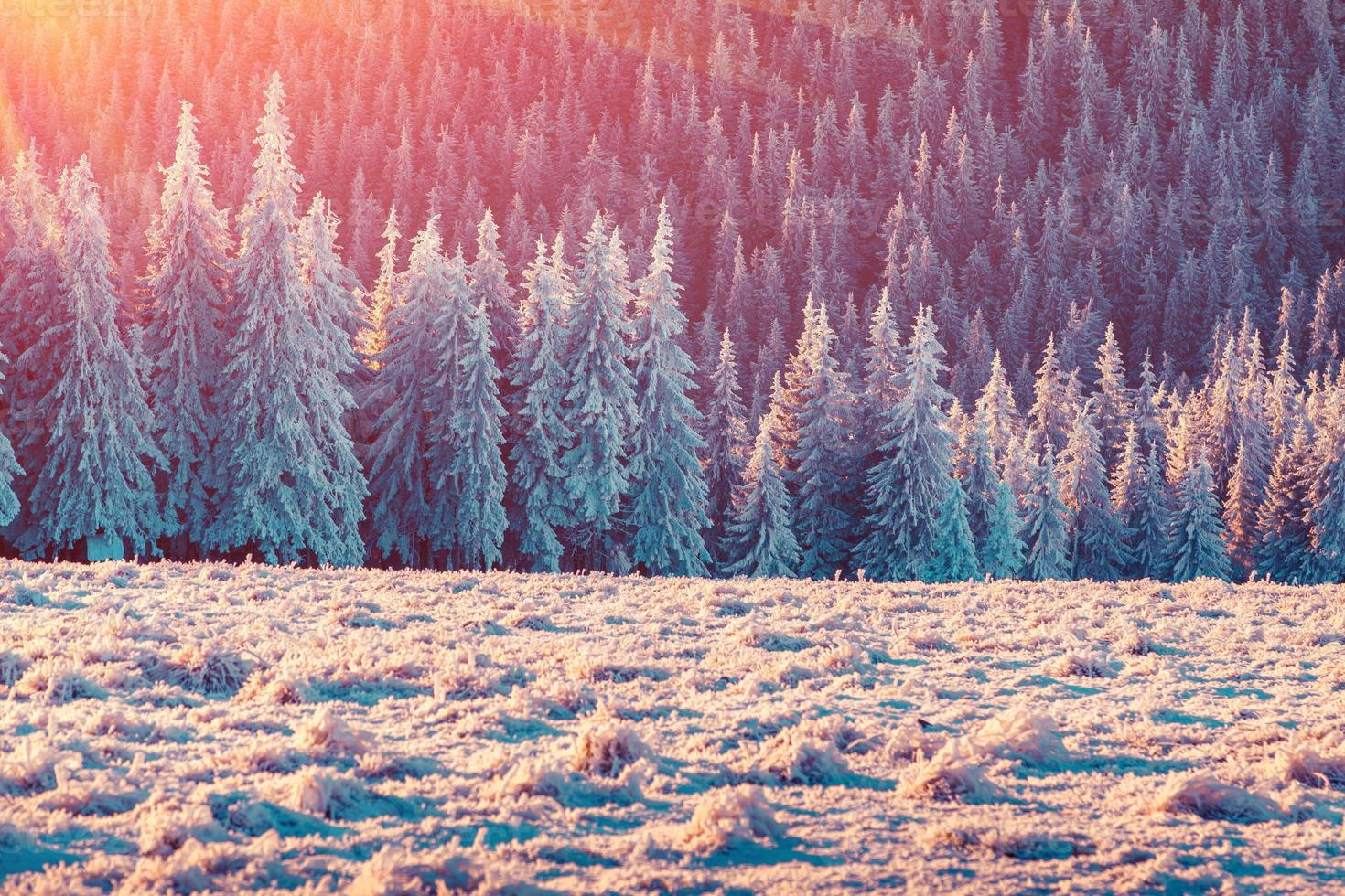 Colorful winter sunrise in the Carpathian mountain forest. photo