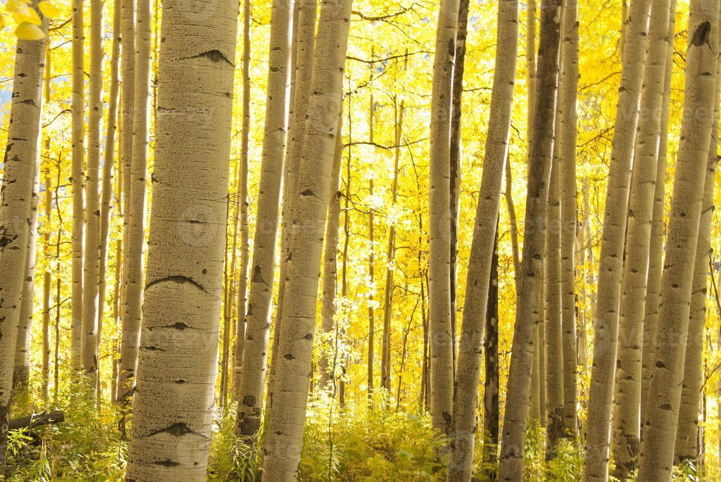 Aspen Grove in Autumn photo
