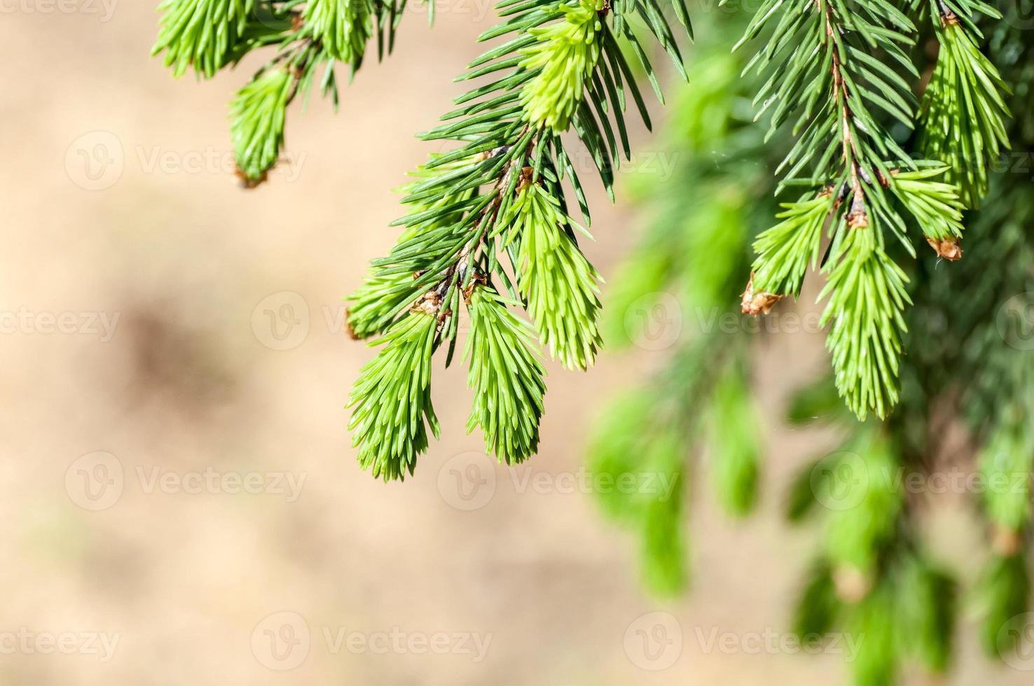 young fir branch photo