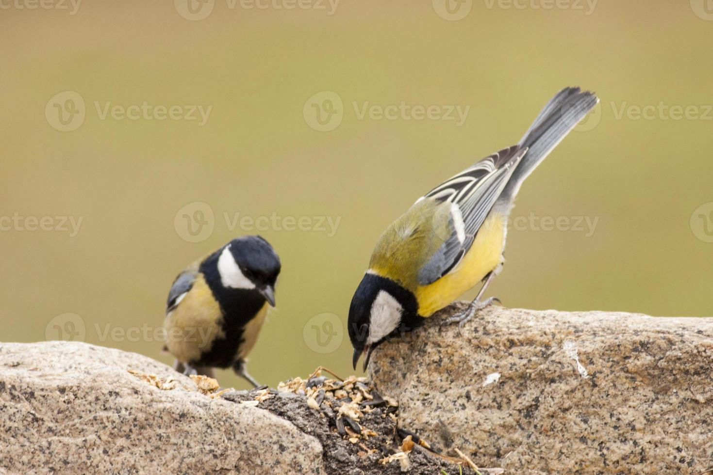 Two Great Tit feed sunflower's seeds on ground photo