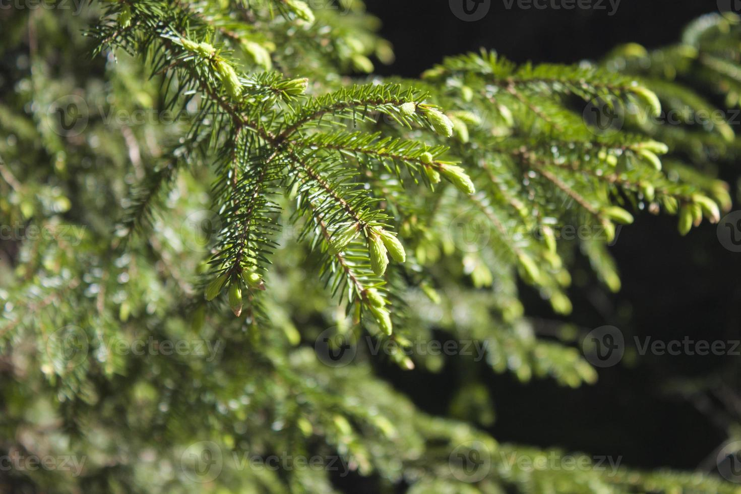 Spruce sprout photo
