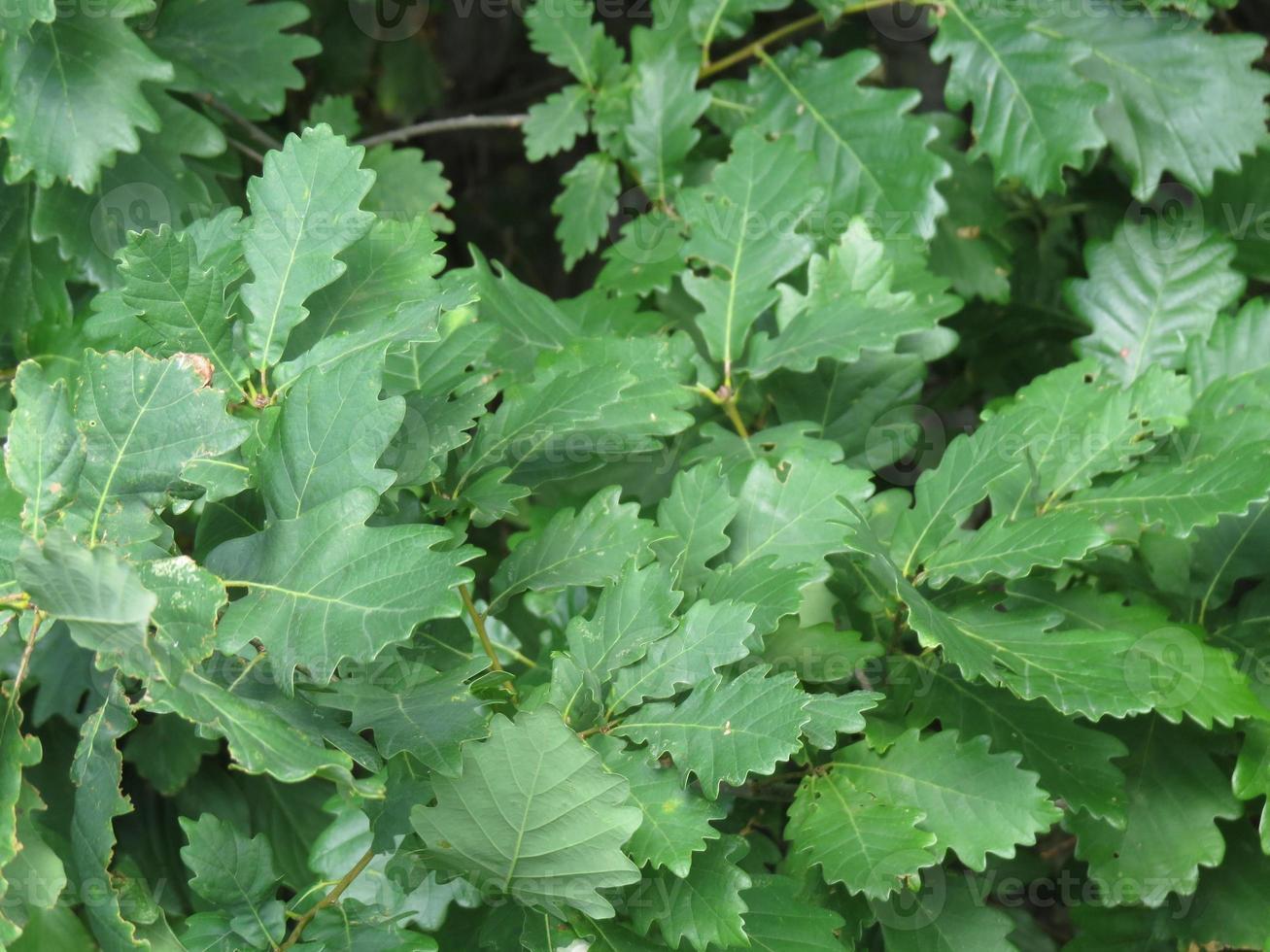 hojas de roble foto