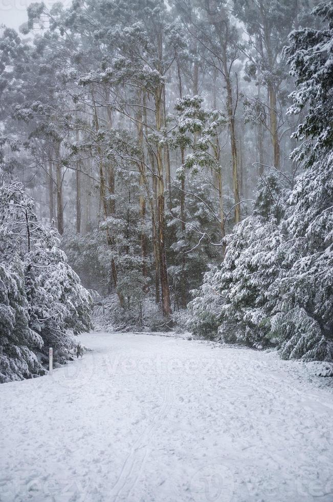 Camino cubierto de nieve en el bosque de eucaliptos en Australia foto