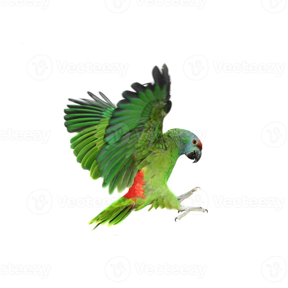 Flying festival Amazon parrot on white photo