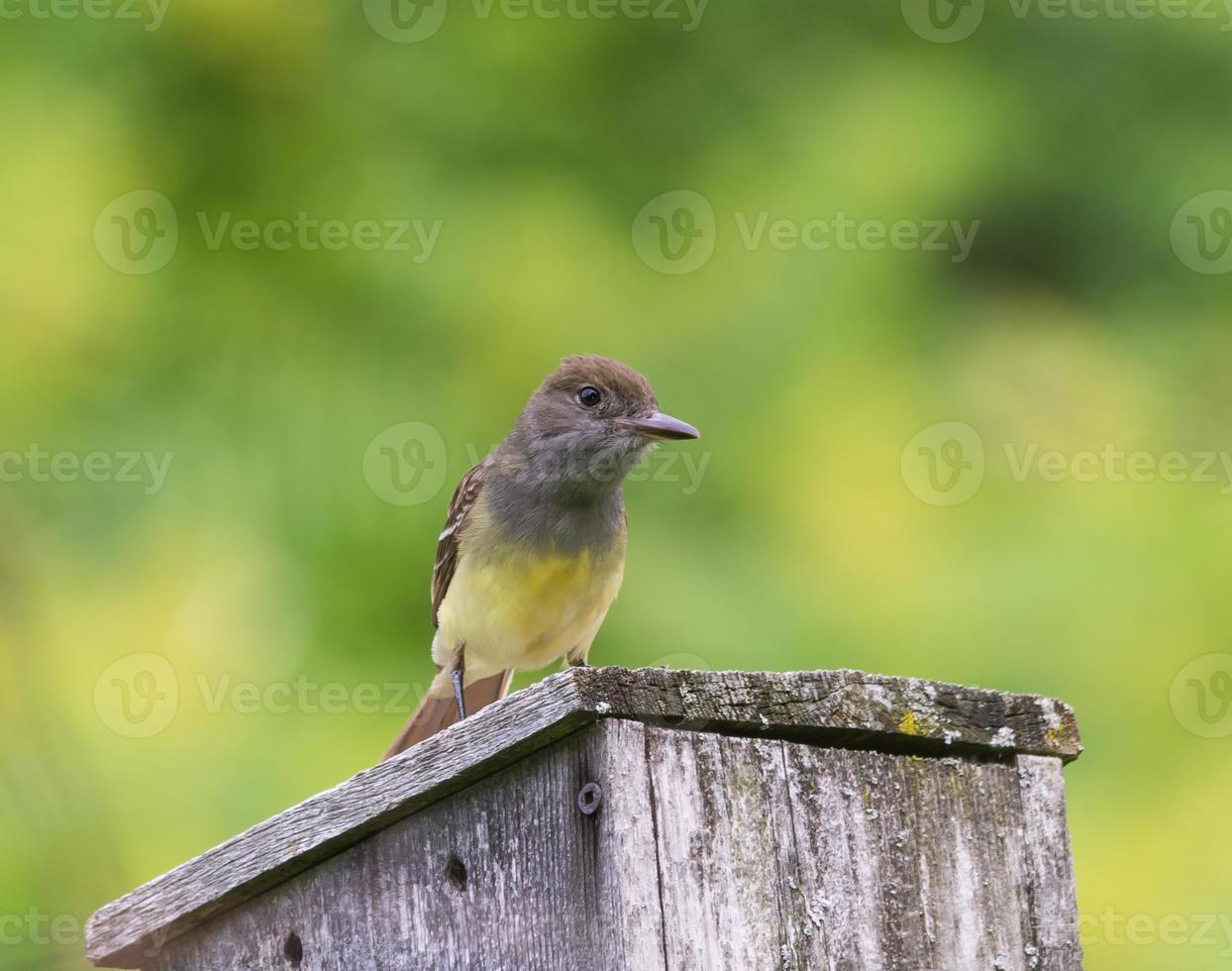 Great Crested Flycatcher photo