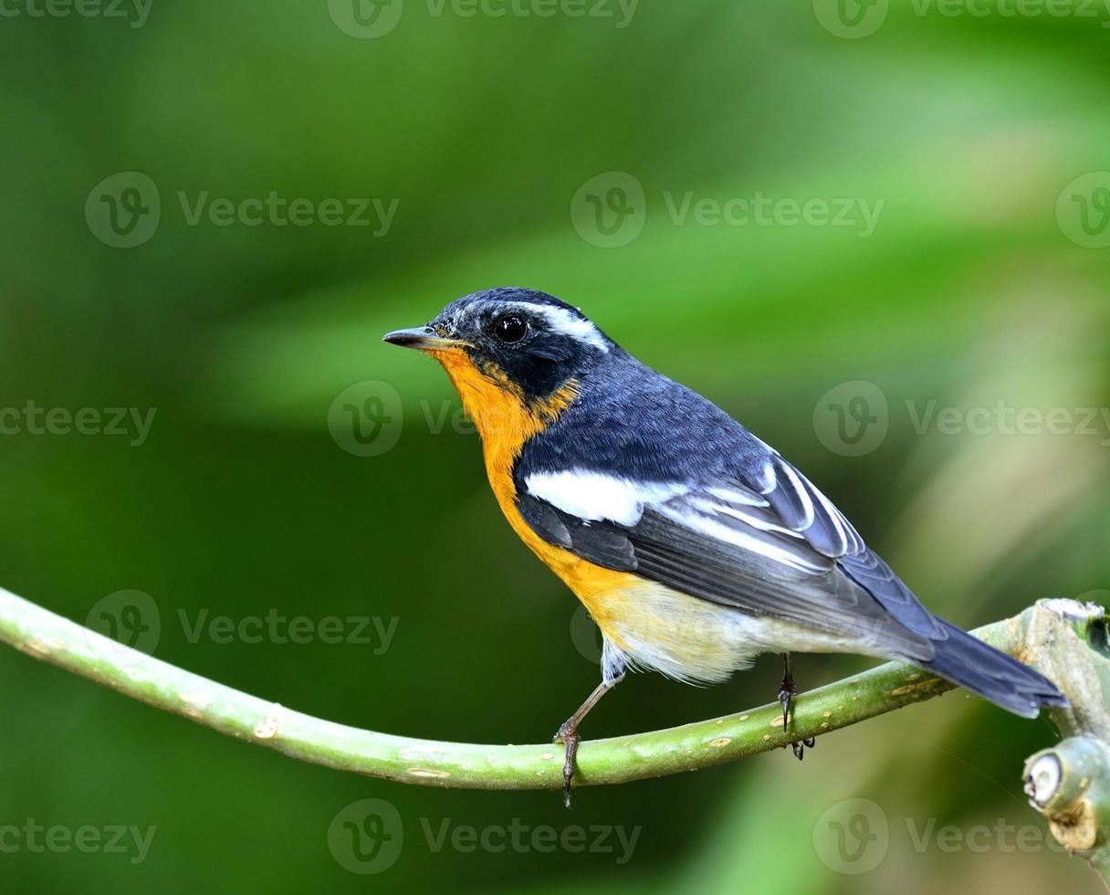 Male of Mugimaki Flycatcher, the beautiful orange and black bird photo