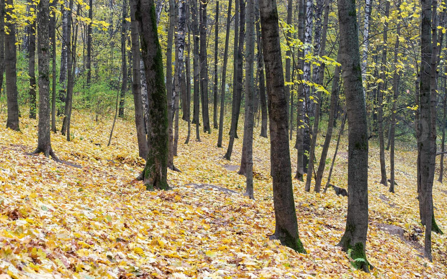 Autumn maple leaves lie in forest. Focus on foreground. photo