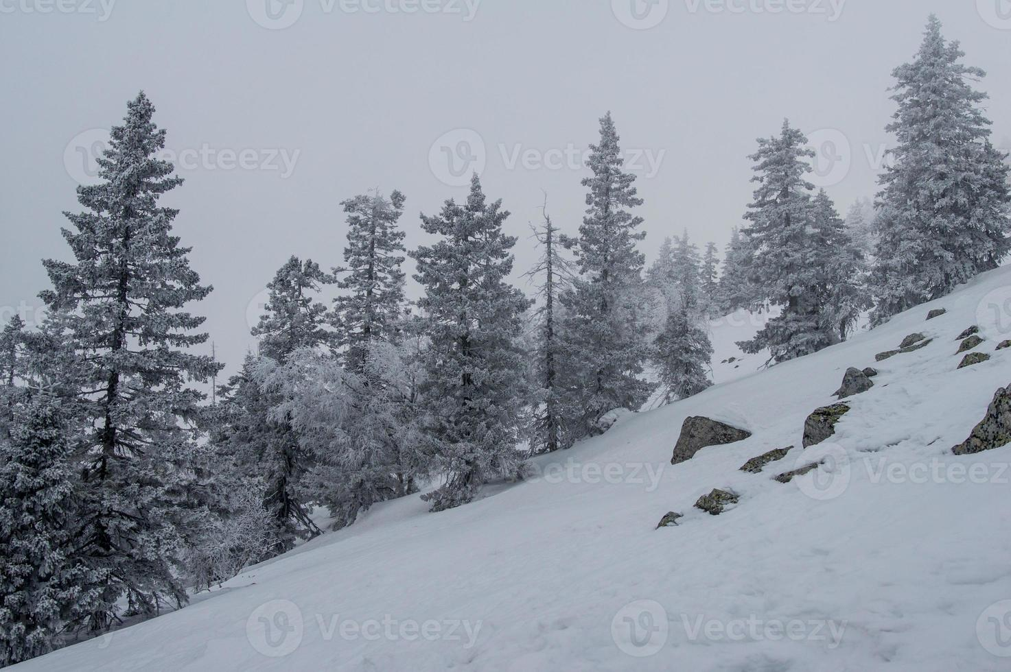 snow-covered forest on the slopes of the mountain. photo