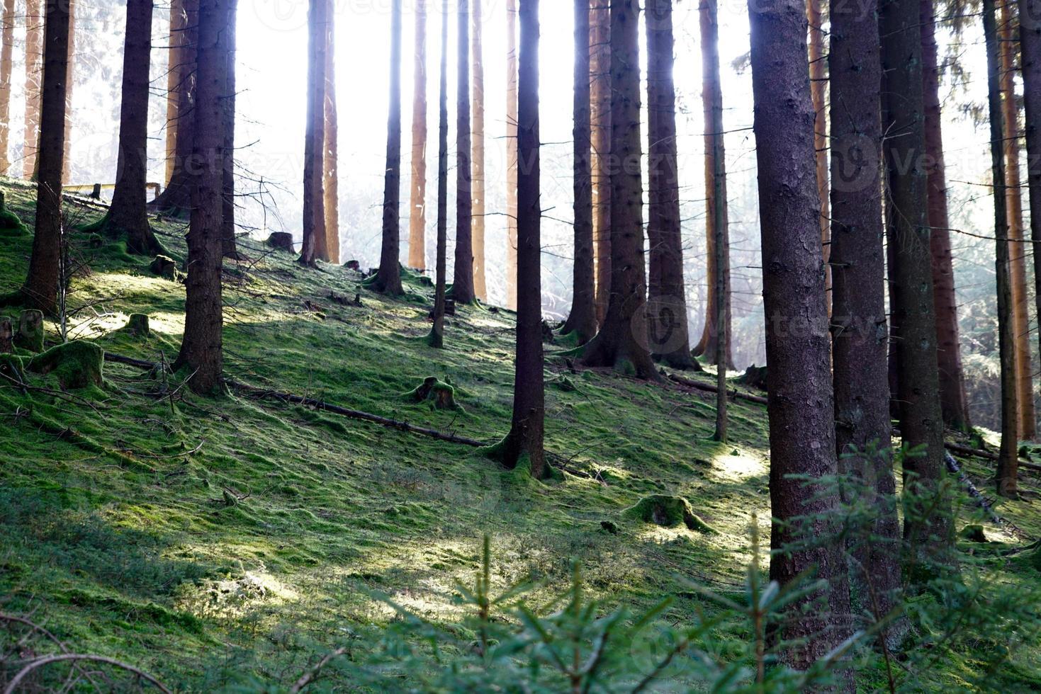 sol brillando en el fondo de musgo de un bosque foto