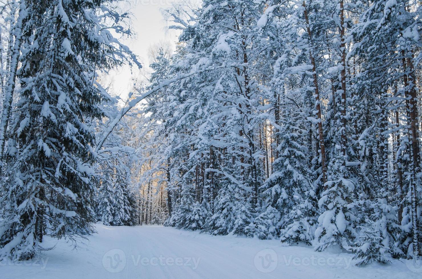 abeto cubierto de nieve en el bosque de invierno. viitna, estonia. foto