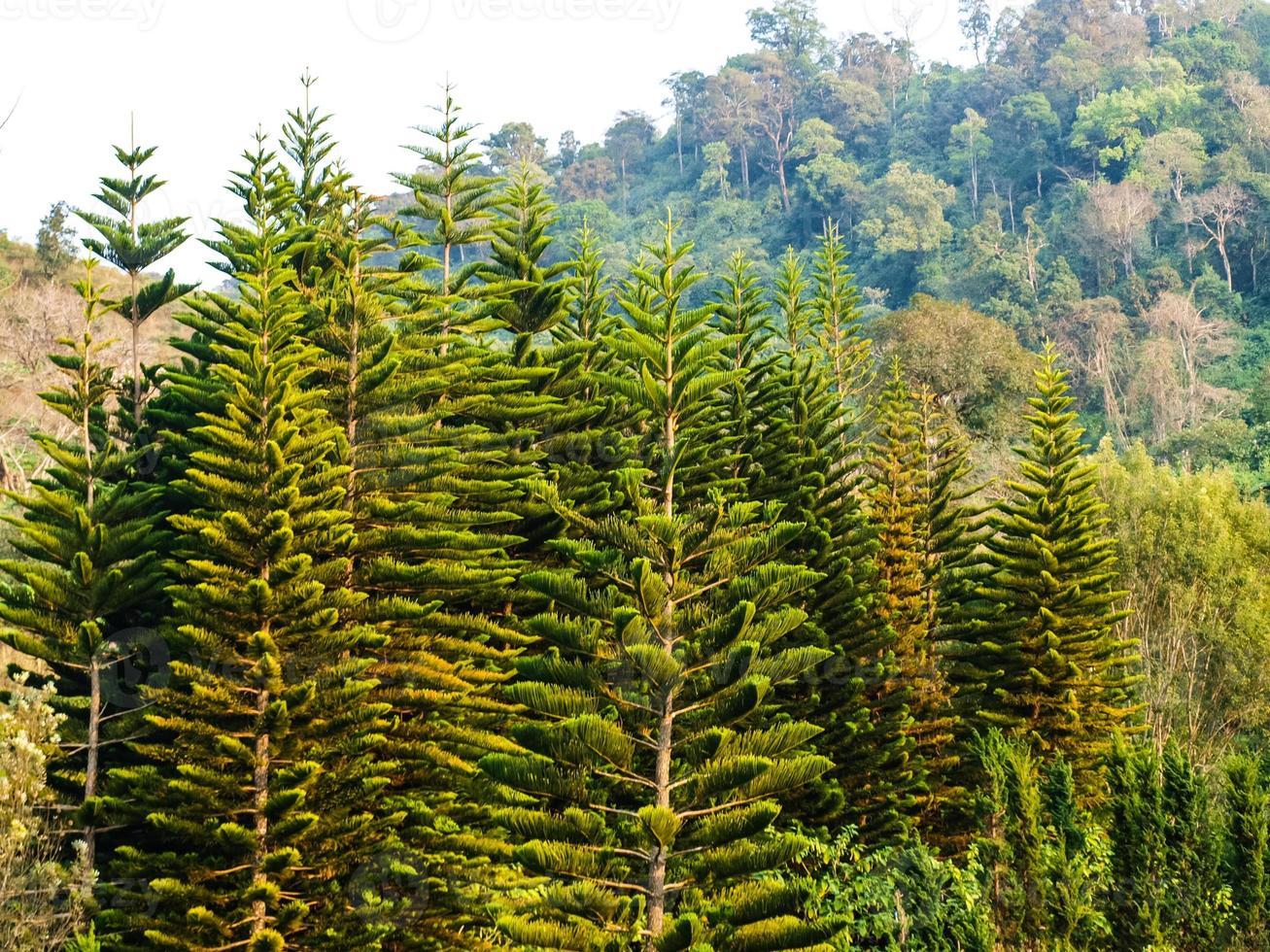 Cedar trees forest in Chang hill, Chiang Rai, Thailand photo