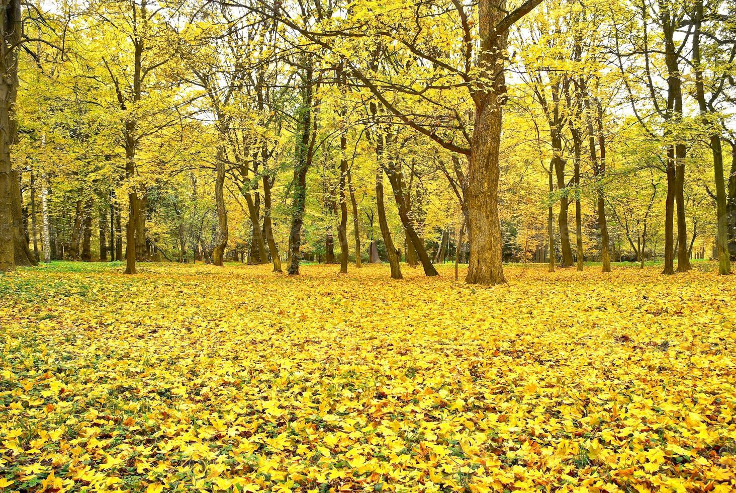 Yellowed leaves on the trees in the autumn forest. photo