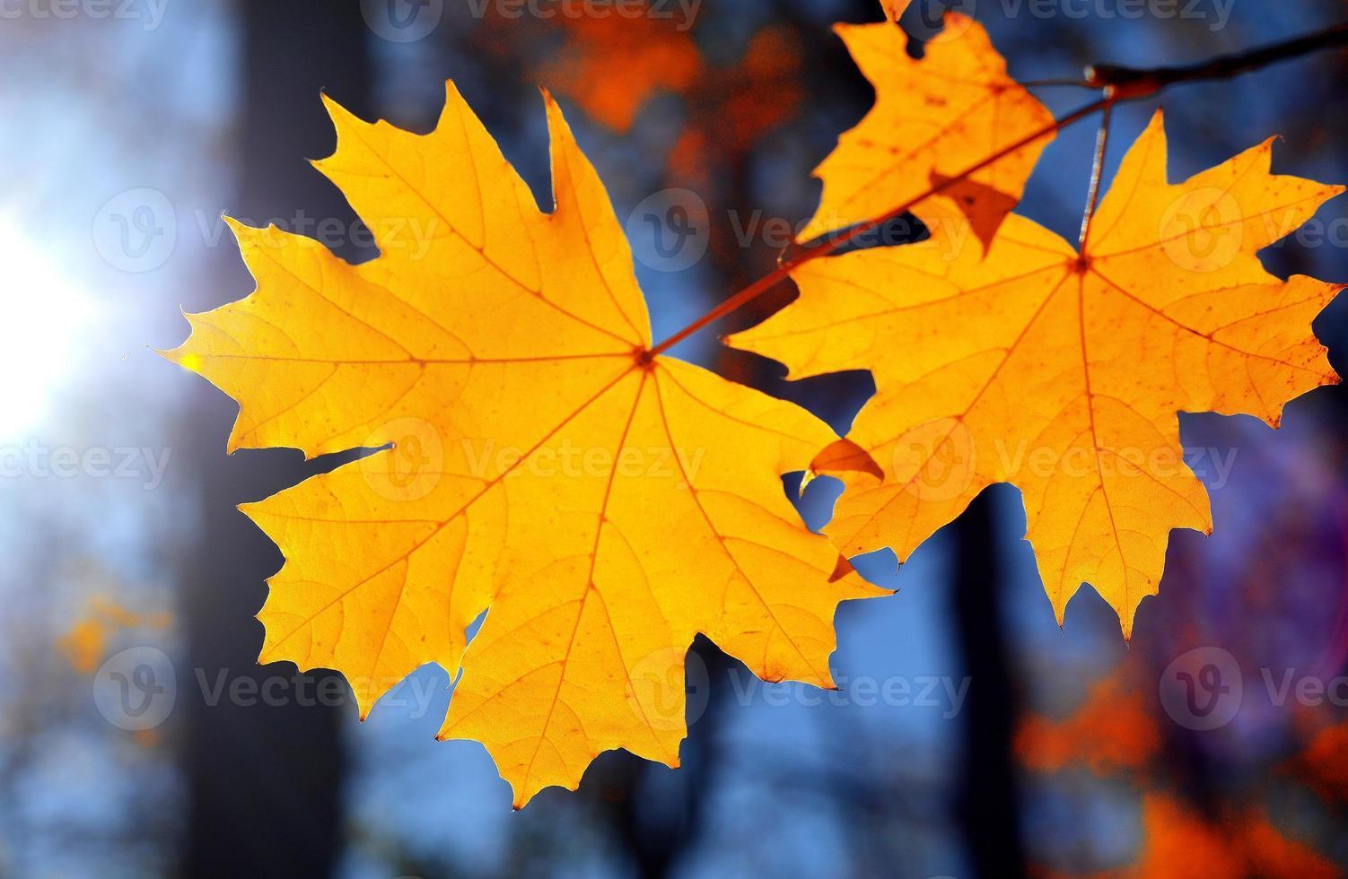 Yellow maple photo