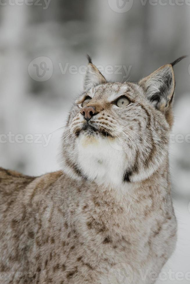 European lynx photo
