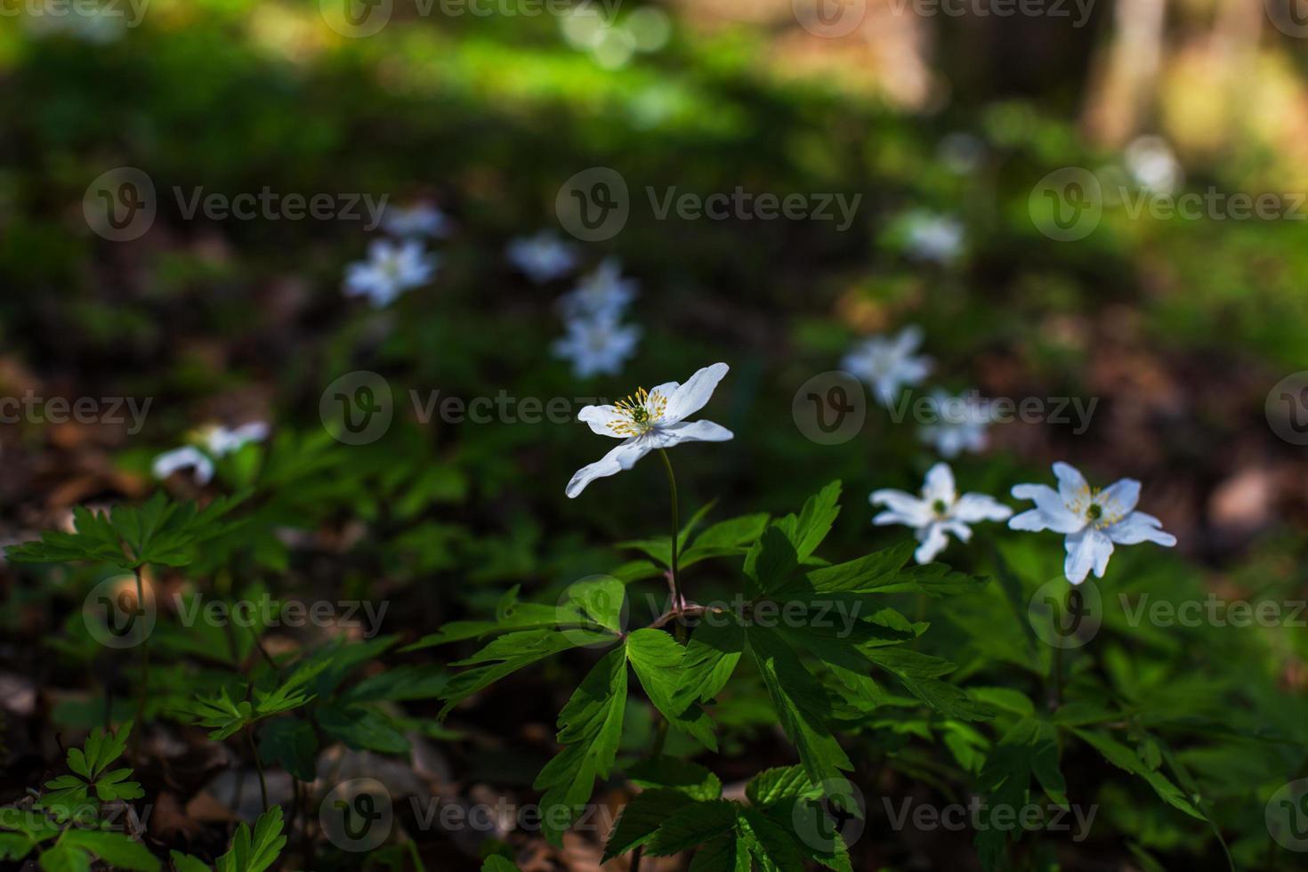 Anémonas silvestres, anemone nemorosa, en un bosque de abedules foto
