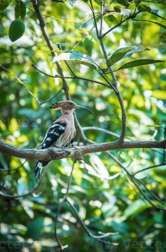 Hoopoe bird on tree, Upupa epops photo
