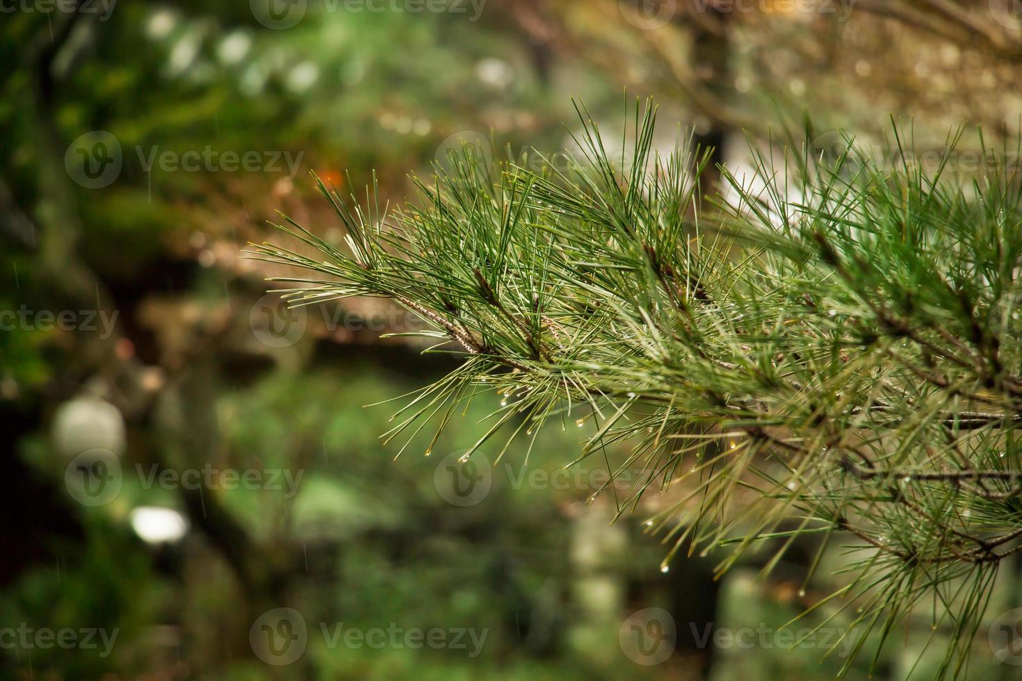 Pine on blurred colorful background forest. Raindrops on pine photo