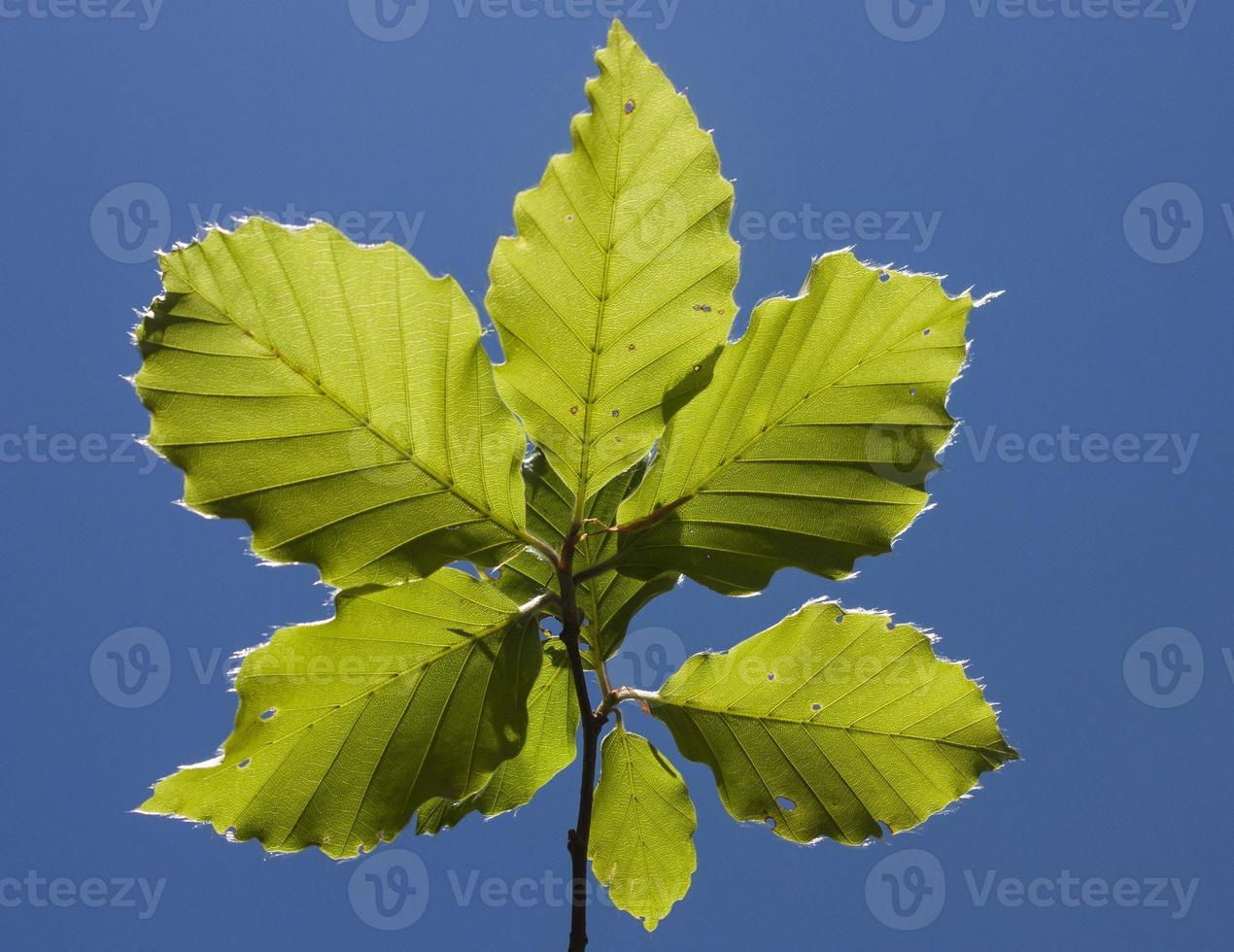 Beech leaves on stick photo