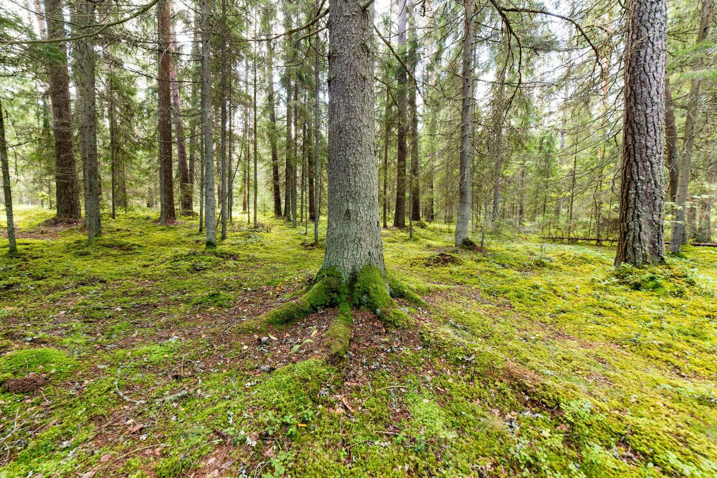 trees in green forest with moss and autumn colors photo