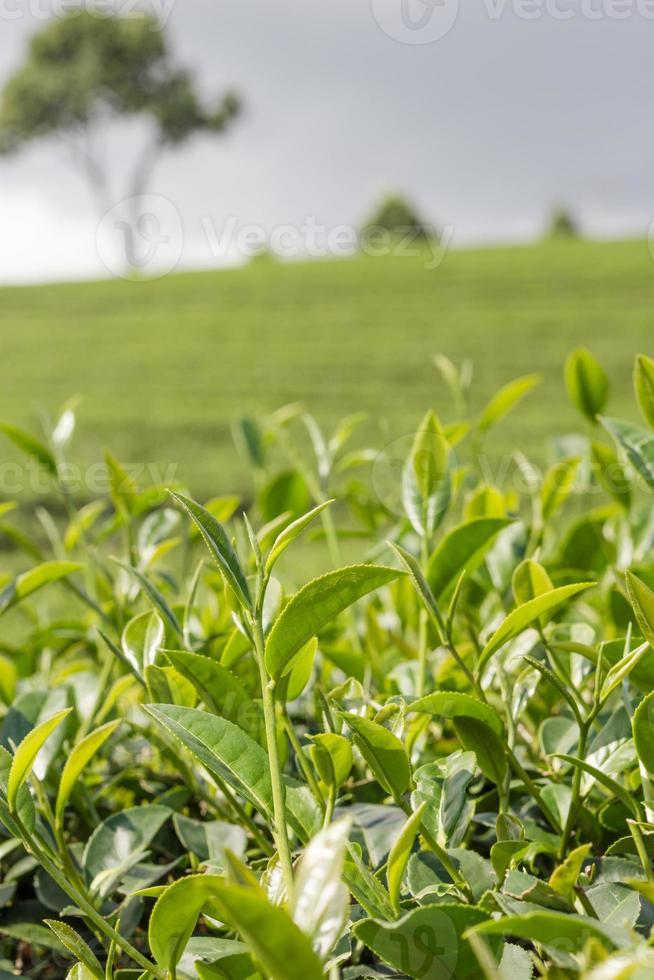 Green tea bud and fresh leaves. photo