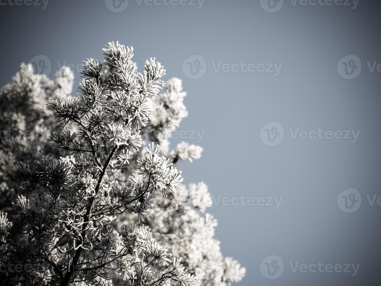 Fondo de Navidad del bosque nevado, copas de los árboles helados en el cielo. foto