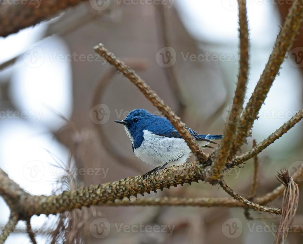 Colorful blue and white bird, male Ultramarine Flycatcher (Ficed photo