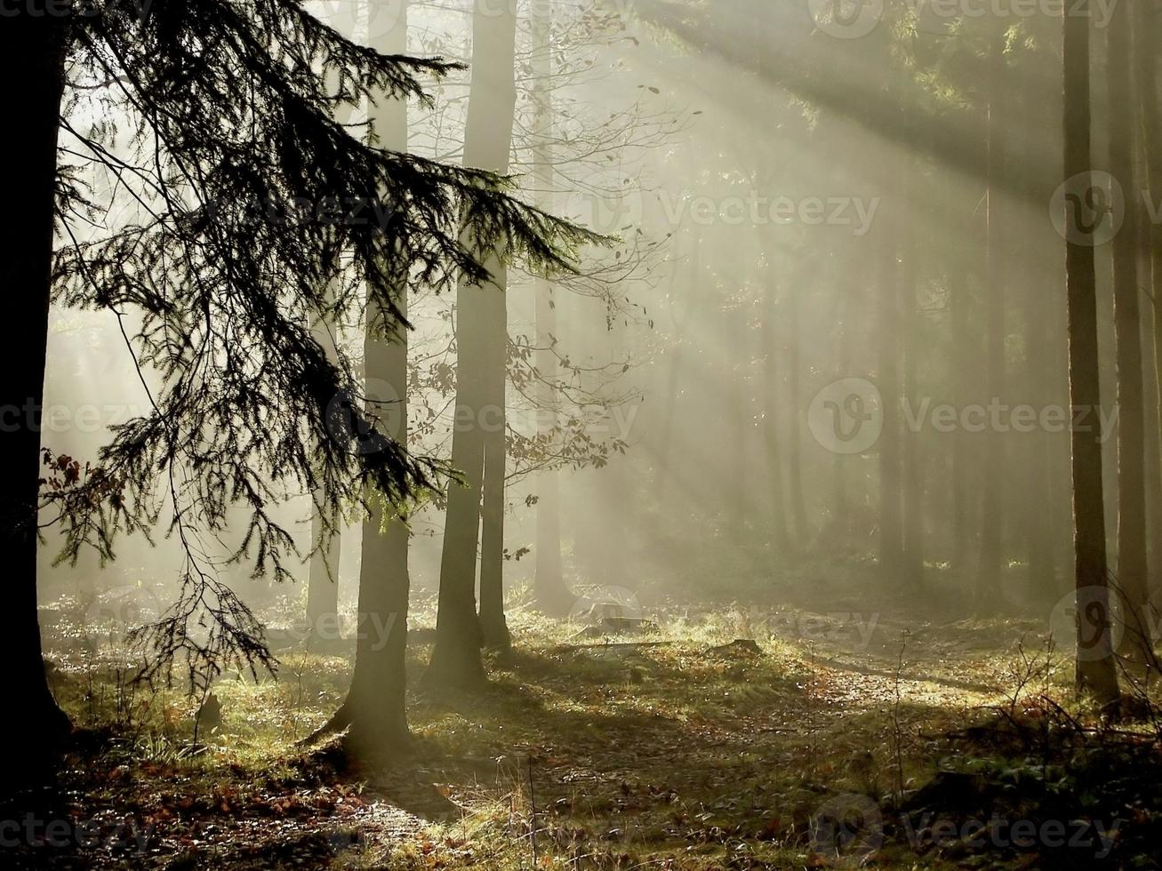 View of coniferous forest at dawn with light shining through photo