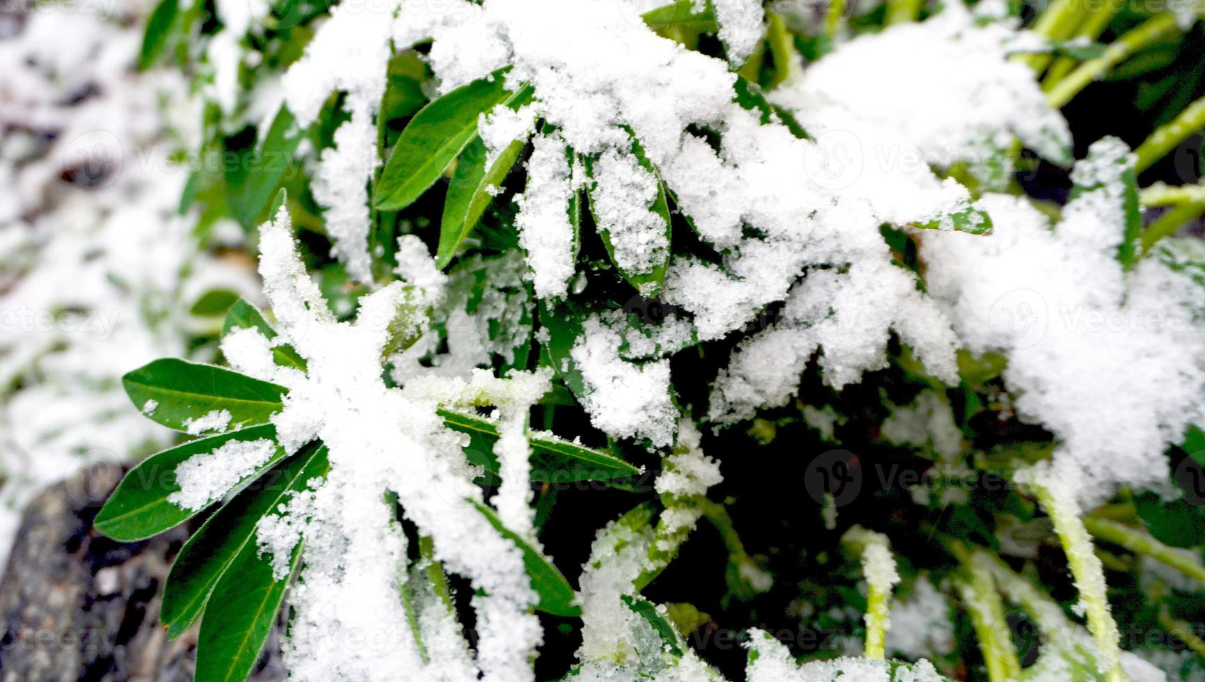 plant and snow photo