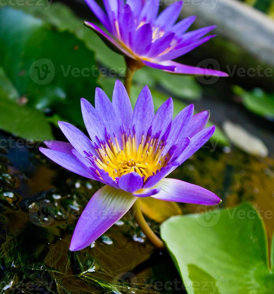 flores de loto púrpura y flores de loto como telón de fondo. foto